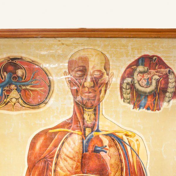 Vintage Human Anatomy Chart