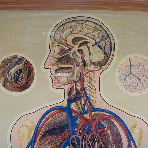 Vintage St Johns Anatomical Chart