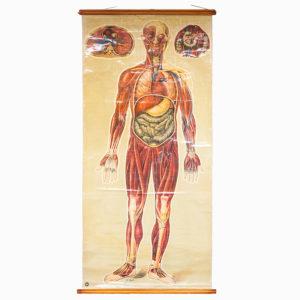 Vintage St John's Human Anatomy Chart