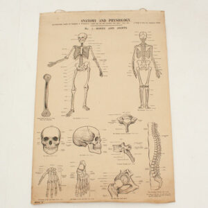Antique Anatomy & Physiology Wall Chart